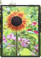 bedrucktes Glas | Sonnenblume